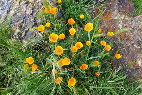 Golden poppies. Coyote Hills Regional Park