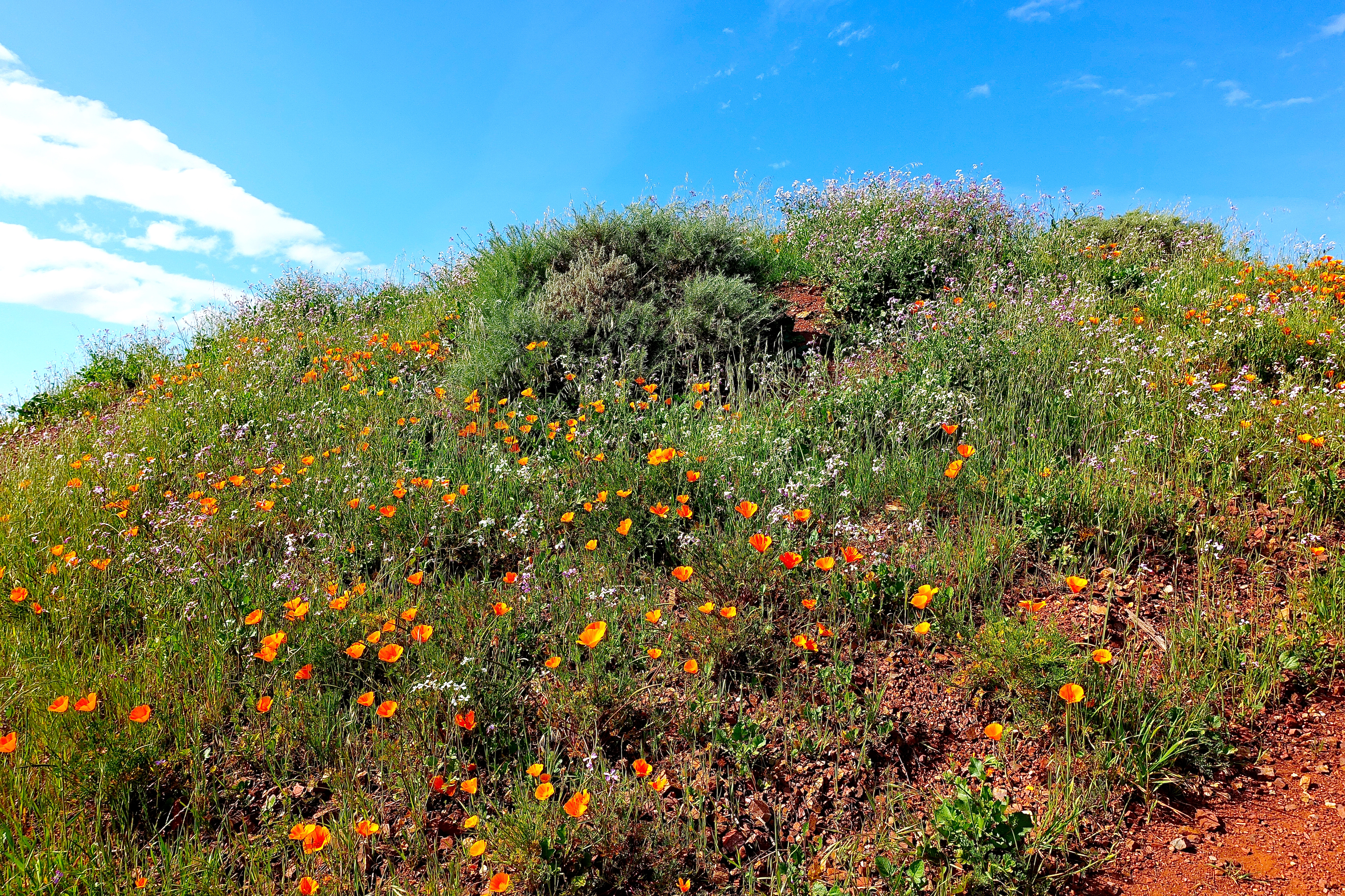 Gorgeous wildflowers in Coyote Hills Regional Park