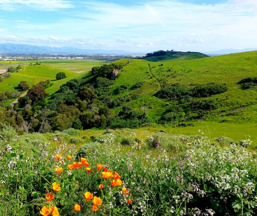 Green hills carpeted with wildflowers in Coyote Hills Regional Park