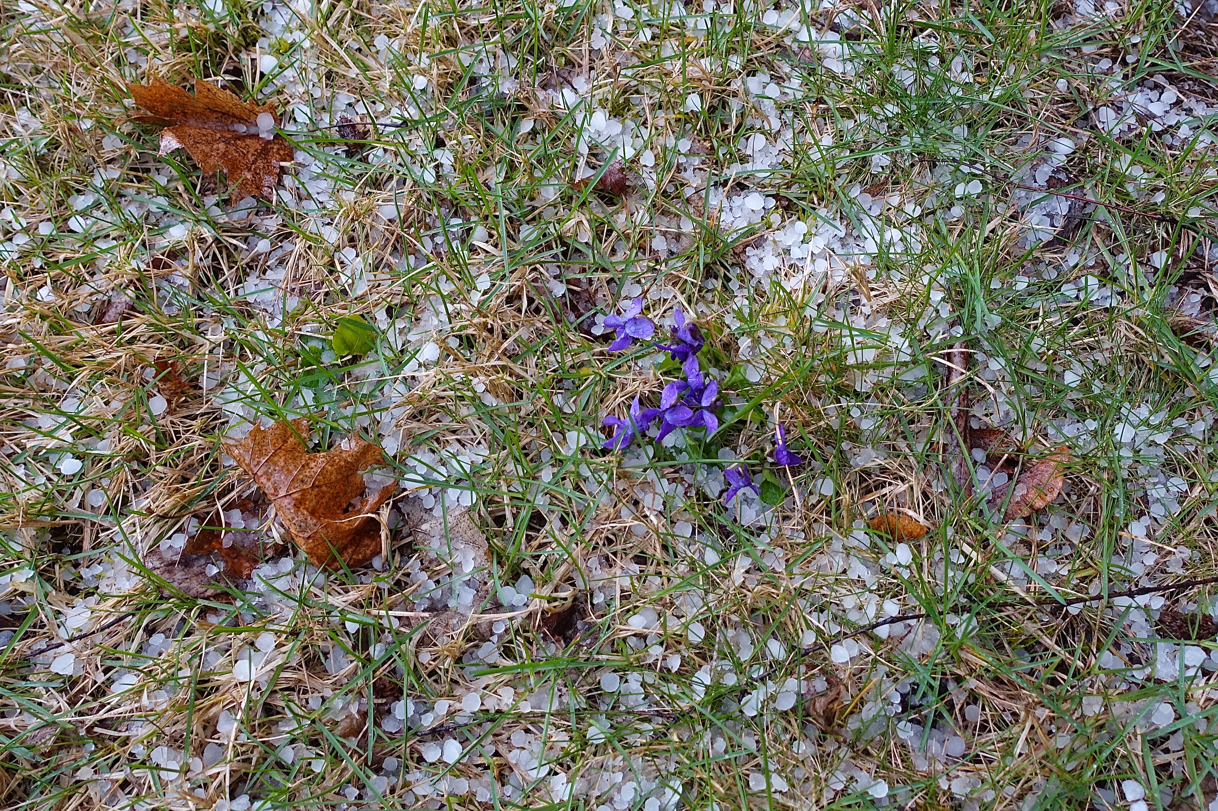 Hail and Violets on Easter!