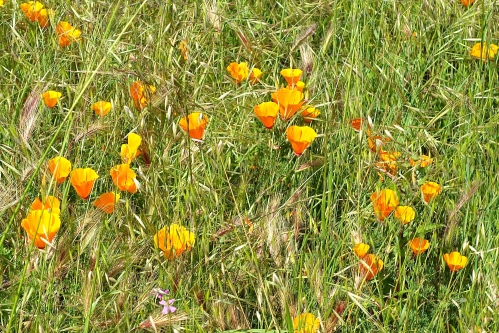 Poppies in March at Coyote Hills Regional Park