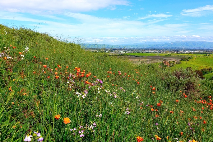 Spring Wildflowers in Coyote Hills Regional Park