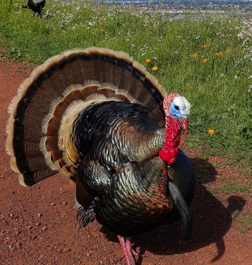 Testy Tom Turkey in Coyote Hills Regional Park