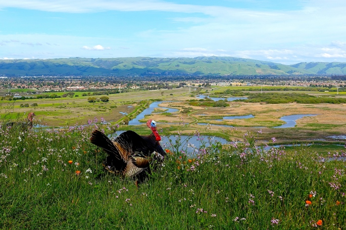 Tom Turkey at Coyote Hills Regional Park 2