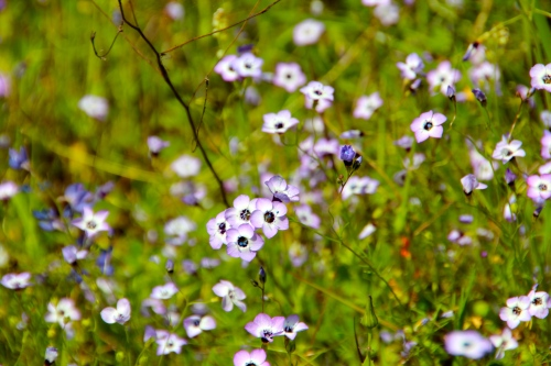 Bird's Eye Gilia. Buttermilk Bend Trail. South Yuba River State Park CA