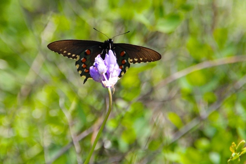 Black Swallowtail Butterfly on Blue Dick