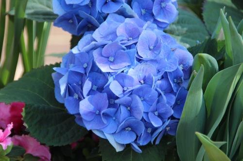 Blue Hydrengea Meijer Garden 4.23.16