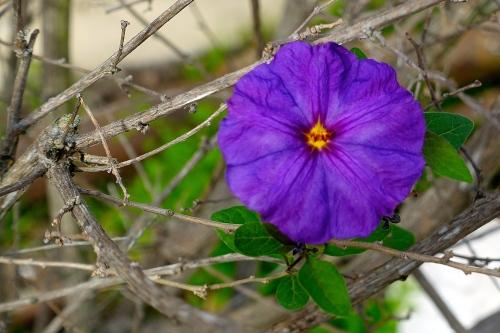 Blue Potato Bush Flower
