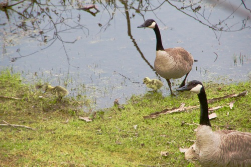 Canada Geese with Goslings