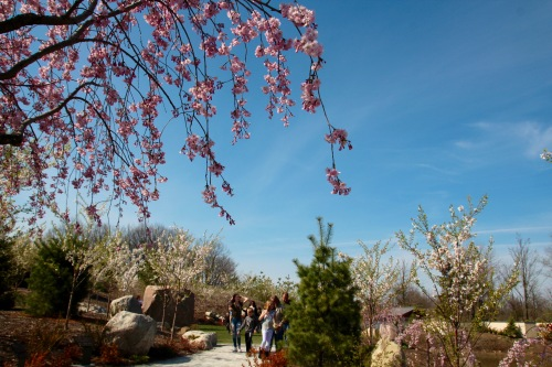 Cherry Blossoms in Japanese Garden at Meijer Garden