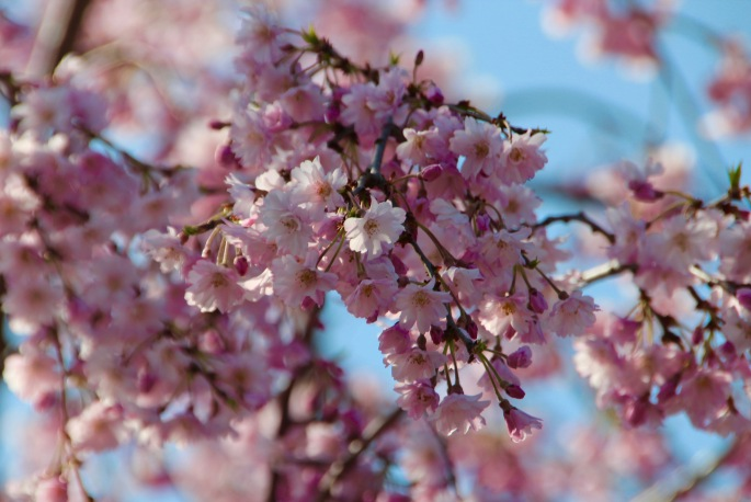 Cherry Blossoms Meijer Garden 4.23.16