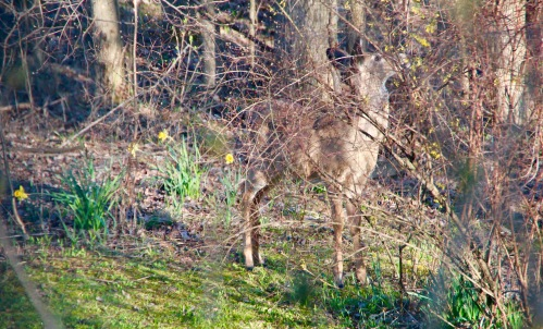 Deer at edge of our woods