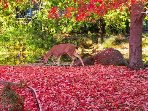 Deer in Crimson Leaves by Rob LW Rossmoor. Walnut Creek