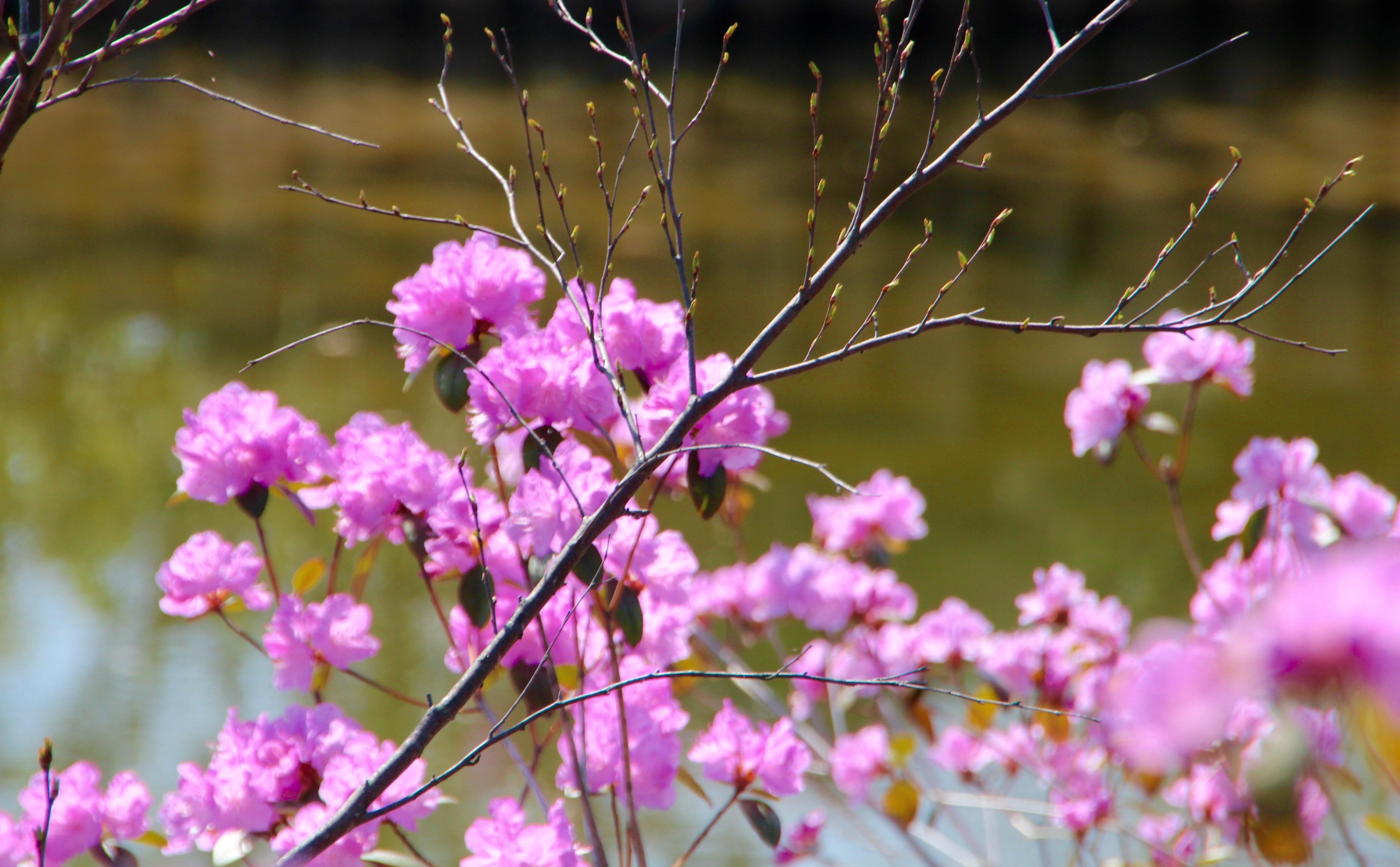 Flowering Almond in Japanese Garden at Meijer Garden | Summer Setting