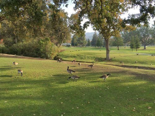Geese on golf course by RLW Rossmoor. Walnut Creek