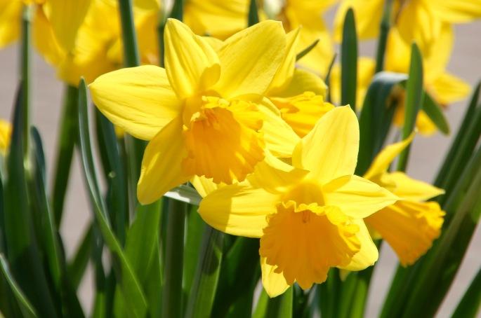Golden Daffodils Meijer Garden 4.23.16