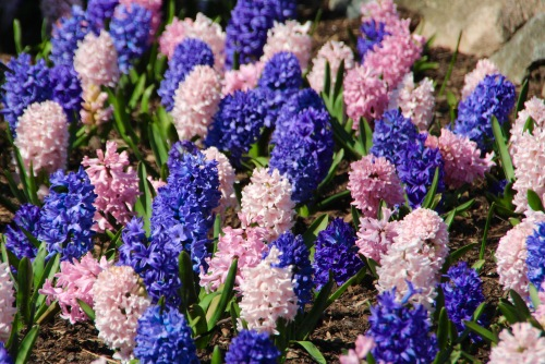 Hyacinths Pink and Blue