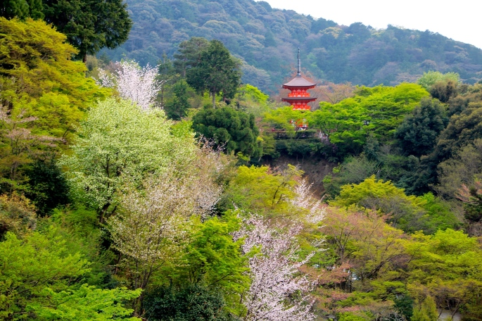 Kiyomizu Temple- Kiyomizu-dera buddhist-temple in Japan with Cherry Blossoms