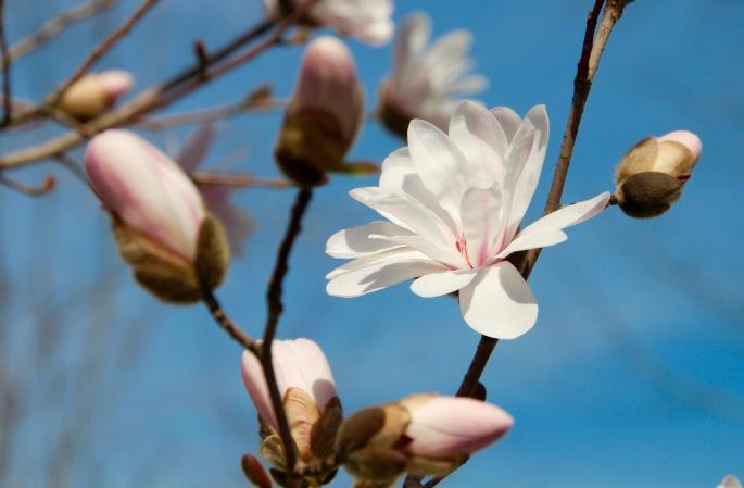 Magnolia Blossom at Meijer Garden