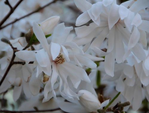 Magnolia Meijer Garden 4.23.16