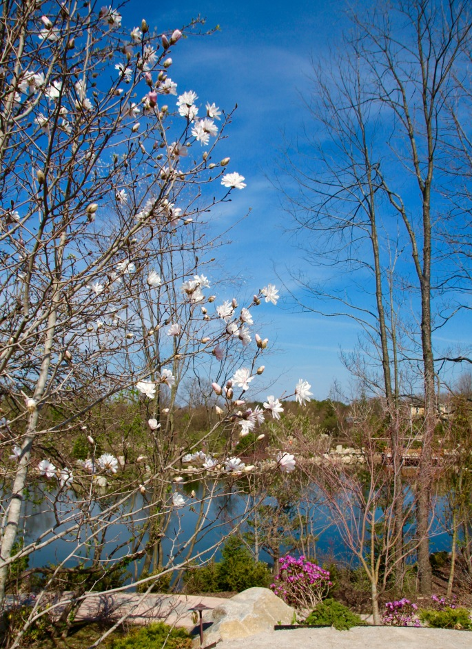 Magnolias blooming in Japanese Garden at Meijer Garden