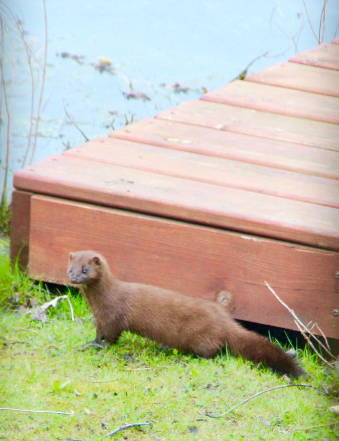 Mink by our dock