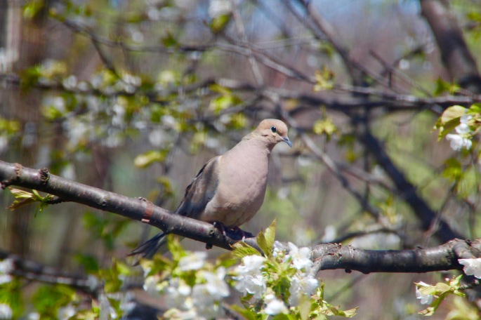 Mourning Dove in our cherry tree April 2016