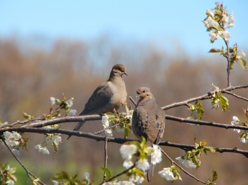Mourning Doves in our cherry Tree 4.28.16