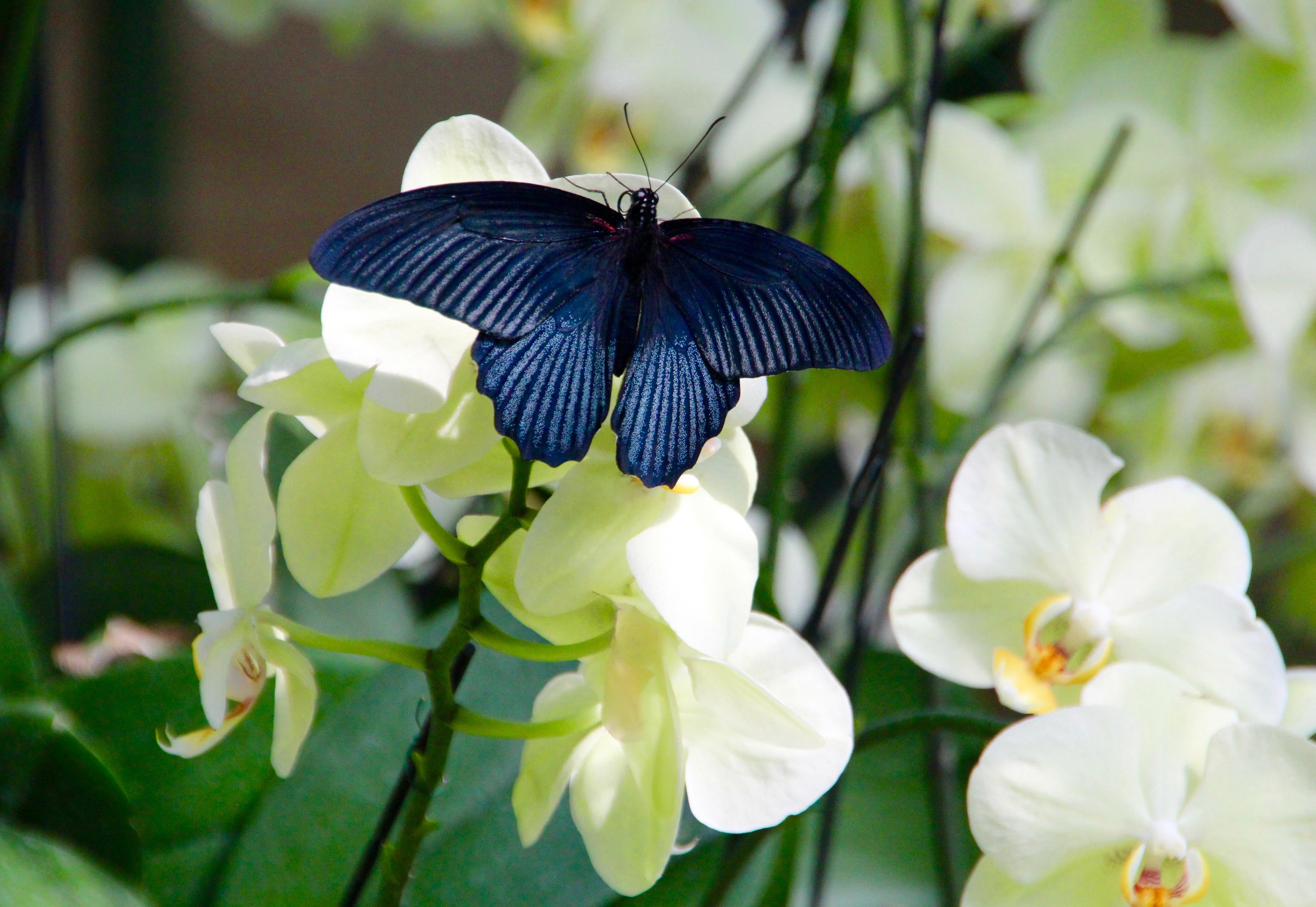 Muted Spangle Butterfly Meijer Garden