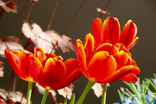 Orange Tulips Meijer Garden 4.23.16