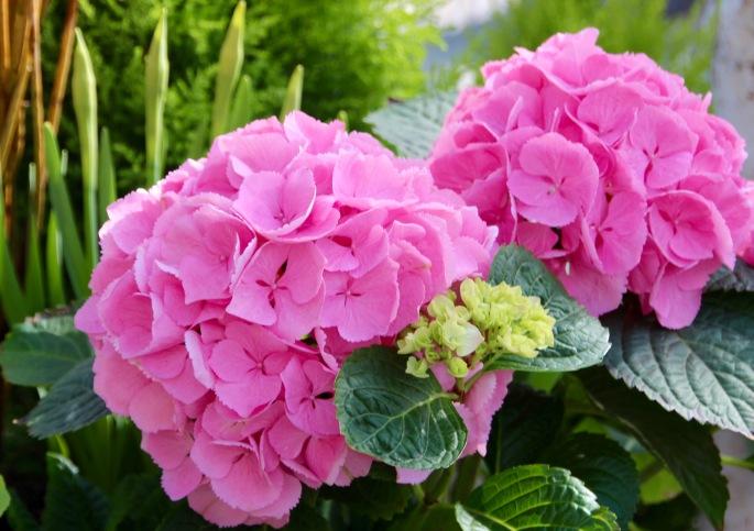 Pink Hydrengea Meijer Garden 4.23.16