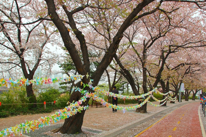 Prayers on Trees during Seoul's Cherry Blossom Festival