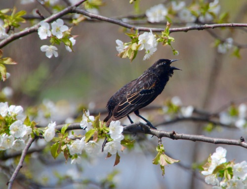 Red-winged Blackbird singing in Cherry Tree