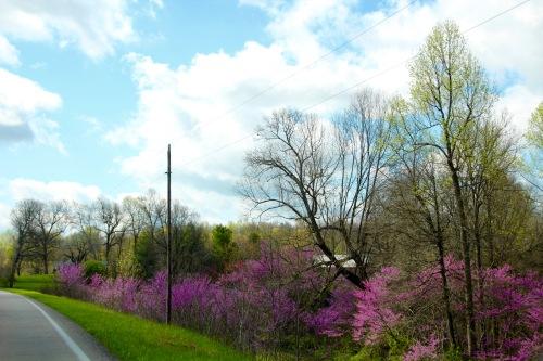 Redbud trees in Kentucky