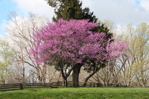 Redbuds blooming in spring near Abraham Lincoln Birthplace National Historical Park