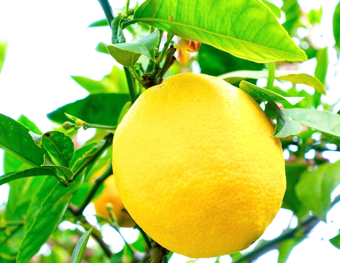 Ripe lemon on tree