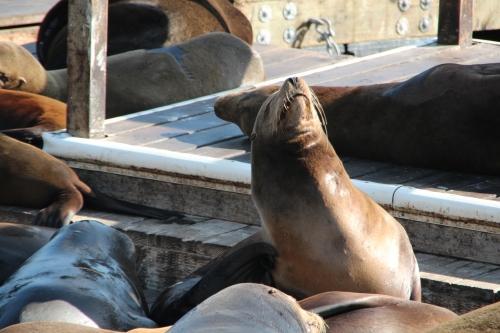 Seals at Pier 39