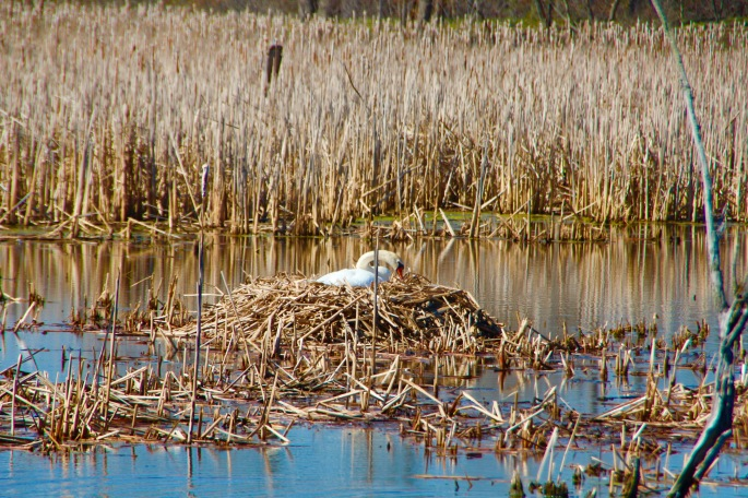 Swan nesting at Mejier Garden