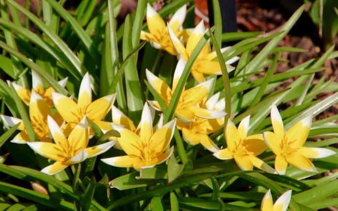Tulipa dasystemon Meijer Garden 4.23.16