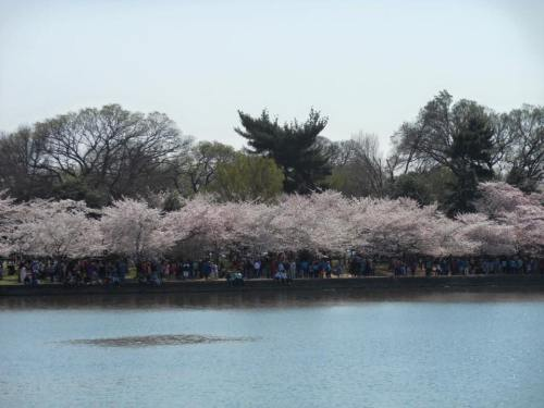 Washington D.C. Naitonal Cherry Blossom Festival 3