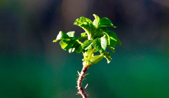 Wild Rose Budding