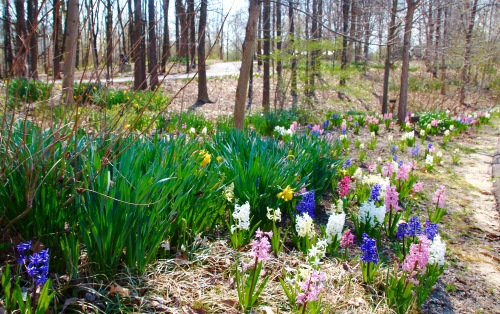 Woodland Path decked with spring flowers at Meijer Garden