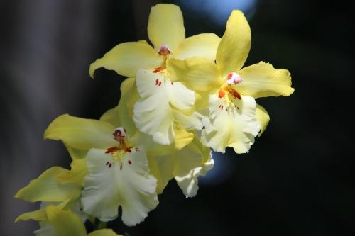 Yellow Orchid Meijer Garden 4.23.16