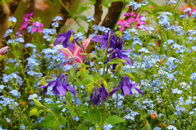 Columbine and forget-me-nots at Giverny. France. 05.09.16