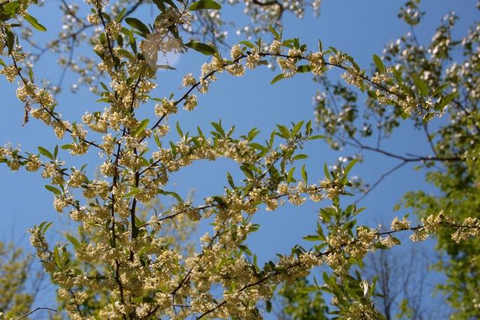 Elaeagnue umbellatat (Autumn Olive)