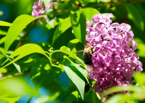 Lilac with honeybee