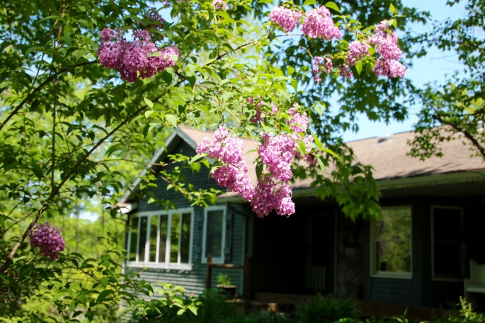 Lilacs by Tanglewood Cottage