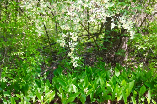 Lily of the Valley. and Honeysucklejpg