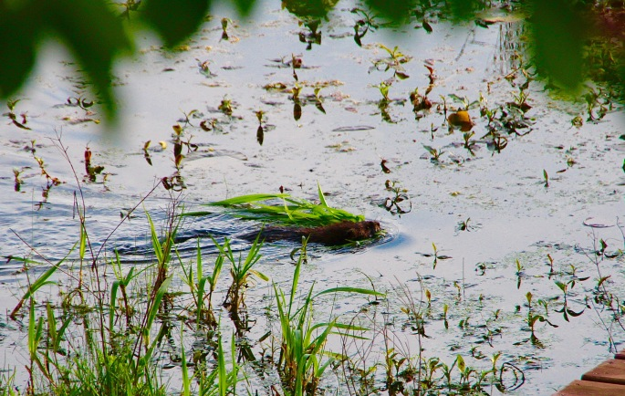 Muskrat carrying leaves and grass 5.26.16