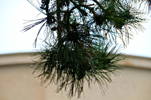 Pine trees weeping at American Cemetery in Normandy France